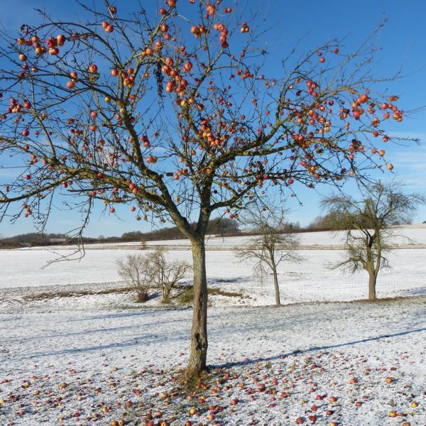 Apfelbaum im Winter